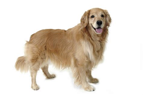picture of golden retriever golden retriever doctissimo