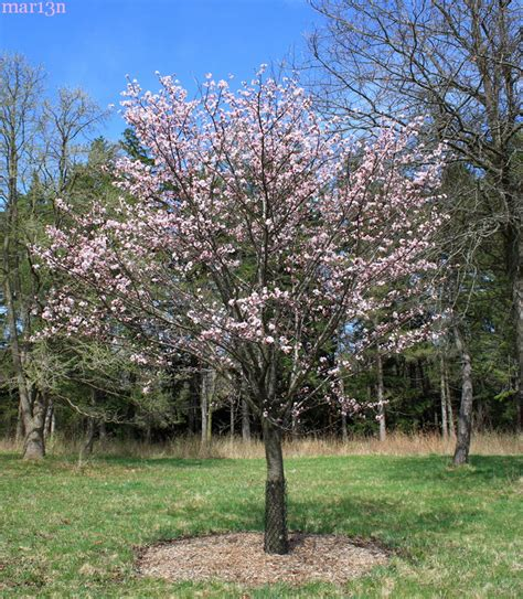 k cherry tree sargent cherry prunus sargentii american insects spiders