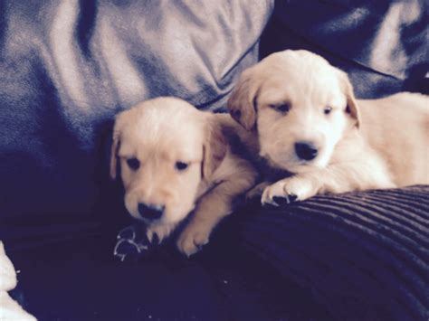 golden retriever puppies for sale in ca golden retriever puppies for sale taunton somerset pets4homes