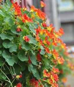 d 233 co plante grimpante fleur exterieur mulhouse 1626