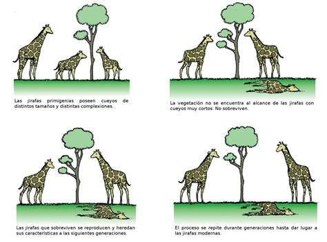 imagenes de las jirafas de lamarck como funciona la evoluci 243 n por selecci 243 n natural taringa