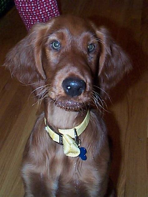 irish setter dog adoption male named chili now living in ma