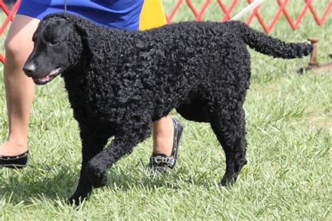Curly-Coated Retriever Dog Info, Temperament, Training ...