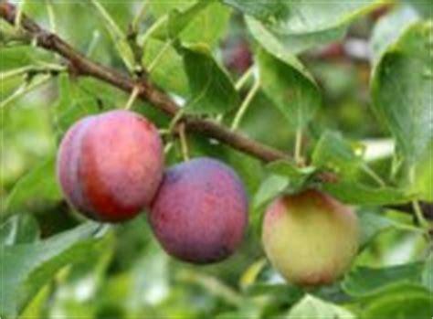 fruit trees las vegas using fruit trees in las vegas landscaping modern