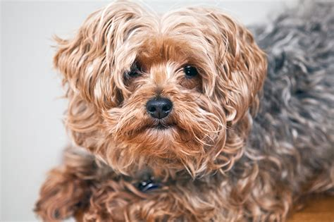 poodle cross yorkie yorkipoo breed information pictures characteristics facts dogtime