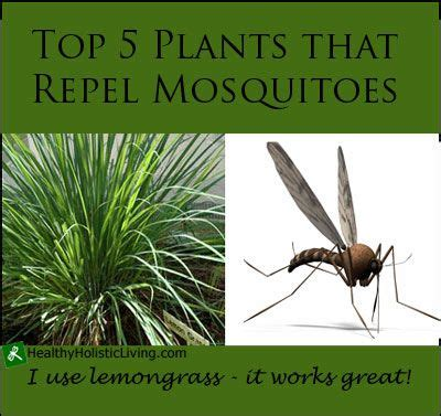plants that repel mosquitoes best 25 mosquito control ideas on pinterest mosquito