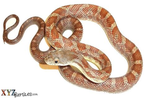 Why Snakes Shed by Reptile Care Reptile Husbandry Caring For Reptiles