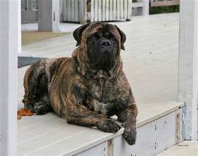 bullmastiff colors