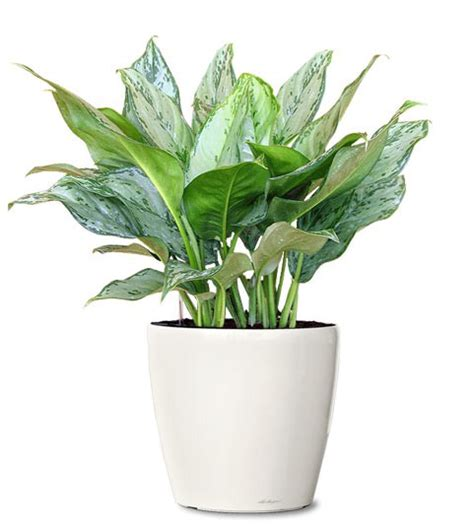 small indoor plants small ornamental plant philippine evergreen ornamental