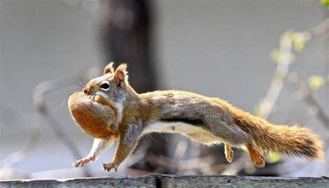 scoiattolo volante domestico cucciolo di scoiattolo kr06 187 regardsdefemmes