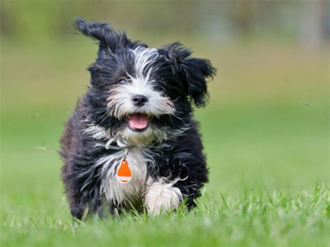 akc rules for giving a havanese a hair cut havanese dog breed information