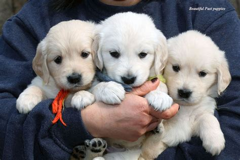 golden retriever breeder massachusetts golden retriever puppies for sale white nj md ny pa de ct ma ri