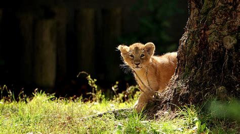 Zoo Atlanta Gift Card - 11 month old gets visit from zoo atlanta s lions