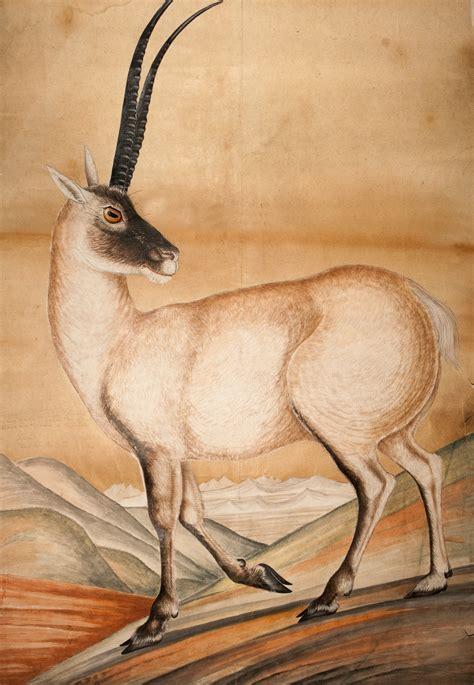 tibetan antelope  brian hodgson zoological society  london zsl