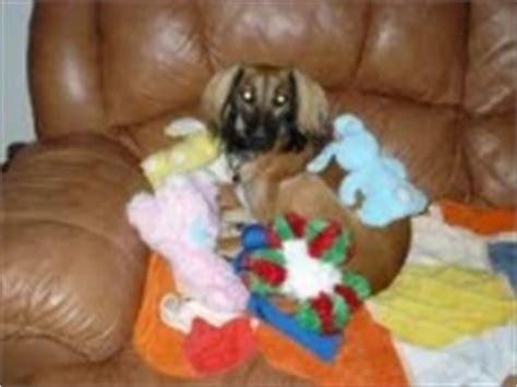 phantom pregnancy in dogs pseudopregnancy