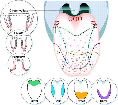 diagram of taste buds tongue taste diagram www imgkid the image kid has it