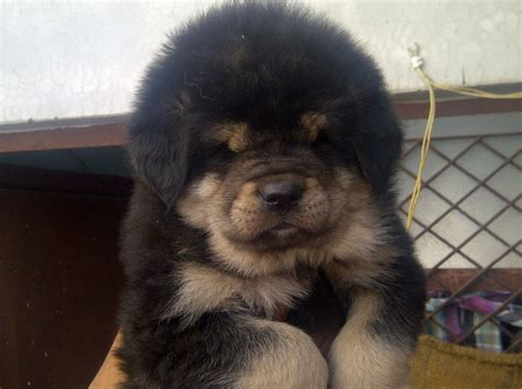 tibetan mastiff puppy for sale imported tibetan mastiff puppies for sale pets nigeria