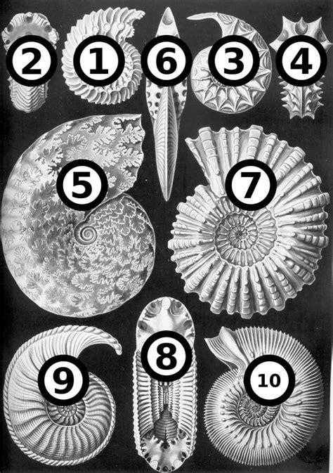 Ammonite Fossil Artby Haeckel