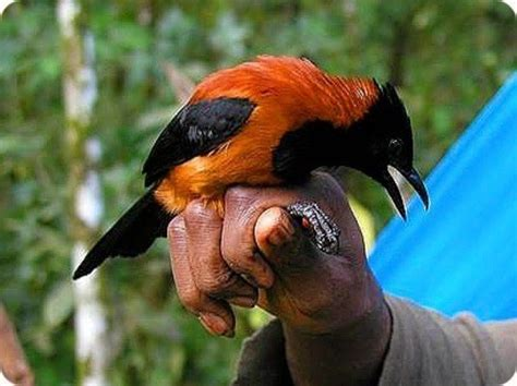 the poison bird hooded pitohui the occasional creature
