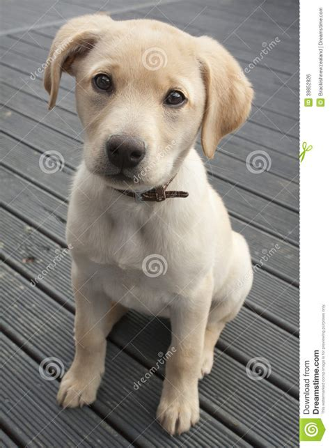 small lab puppy dog stock photo image 39852826