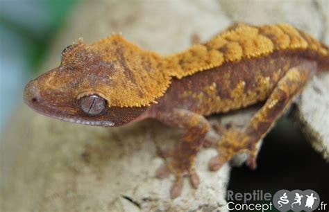fiches conseils l 233 zards gecko cr 234 te reptile concept