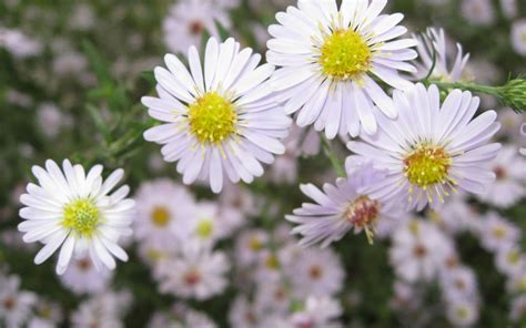 aster flowers wallpapers my note book white aster flowers wallpaper wallpapers 4k 5k 8k