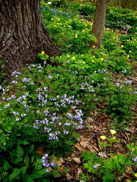 Creeping Phlox Carolyn S Shade Gardens Flowers For Shade Gardens