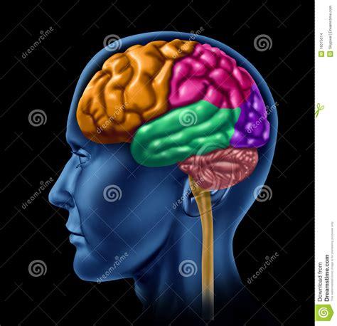 imagenes libres cerebro inteligencia de la actividad de cerebro stock de