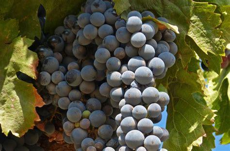 imagenes uva garnacha la uva garnacha y los embutidos protagonistas este fin de