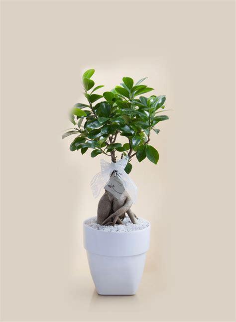 bonsai vaso bonsai ginseng vaso bomboniere roccaro