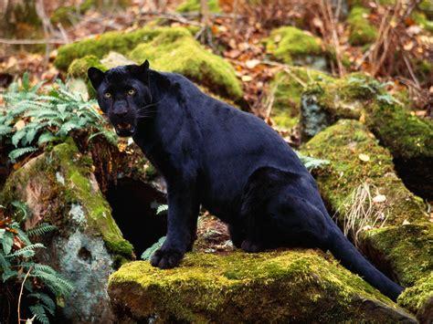 wallpaper black leopard big cats images dark stare of a black leopard hd wallpaper