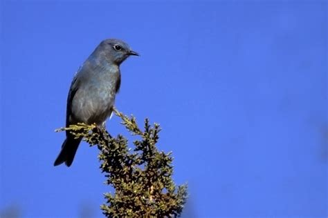 file mountain bluebird santa fe jpg wikimedia commons