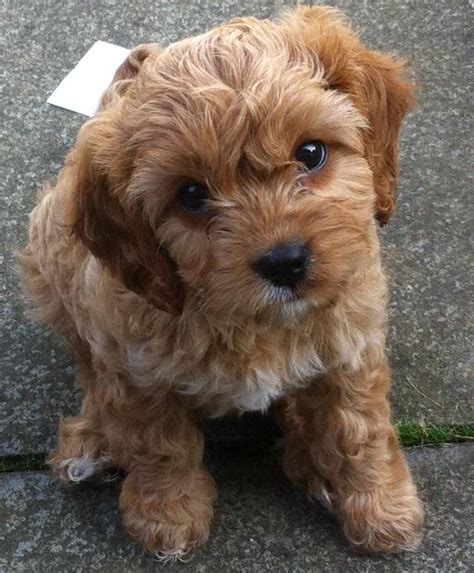 cavapoo puppies breeders breeders view advert top quality f1 cavapoo puppies in scotland