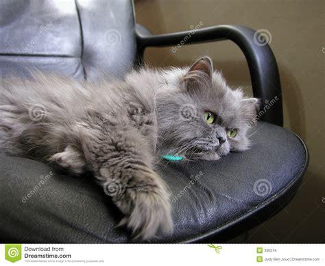 gray persian cat stock photo image  computer gray kitty