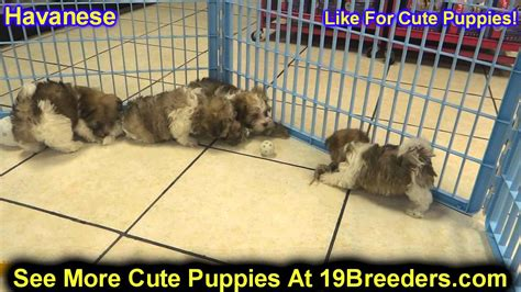 havanese puppies for sale in nj havanese puppies dogs for sale in jersey city new jersey nj 19breeders