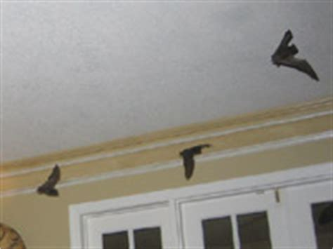 Bat Trapped In Room by Bat Photos Gallery Of Pictures Images
