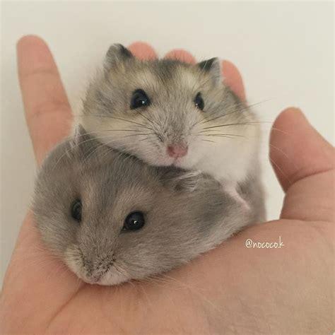 hamster mobile best 25 hamsters ideas on hamsters