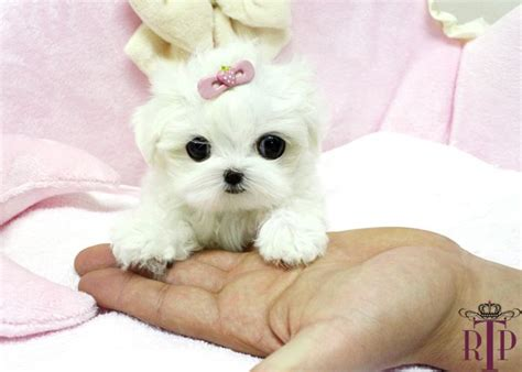 micro mini puppies micro teacup maltese puppies sassy precious tiny micro teacup maltese royal