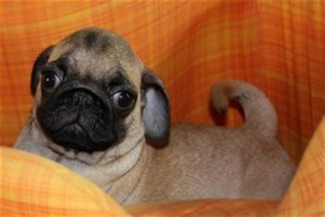 free puppies in bowling green ky pets bowling green ky free classified ads
