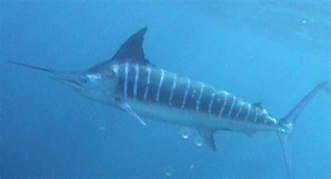 Patung Ikan Marlin Dan Layaran anarchy 10 binatang tercepat di air