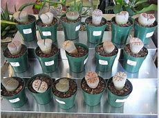 Living Stones – Lithops   The Palm Room Hindu Name