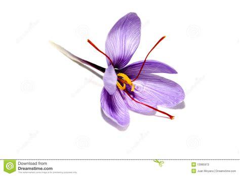 fiore dello zafferano fiore dello zafferano fotografie stock immagine 13985973
