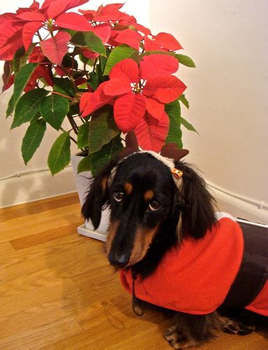 poinsettia and dogs with poinsettia all pet news