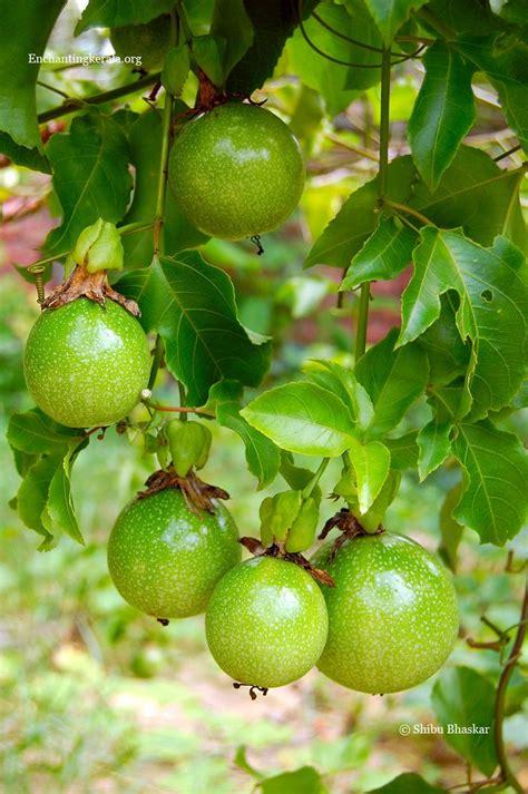 fruit vines fruits on vine produce