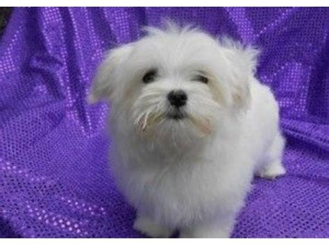 free puppies buffalo ny we standard maltese puppies animals buffalo new york announcement 33398