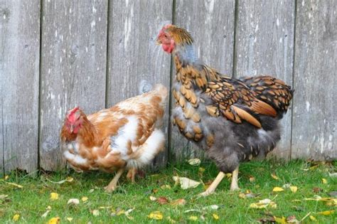 Backyard Chickens Molting Official Byc Contest Worst Chicken Molt Pictures Fall
