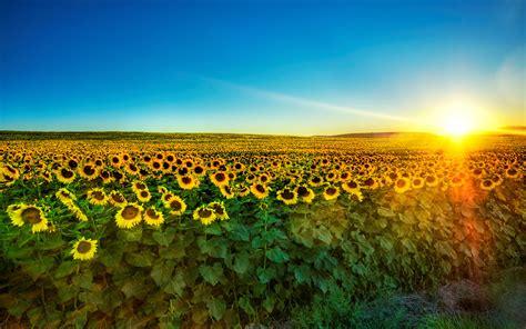 sunflower fields nature sunflower field wallpup