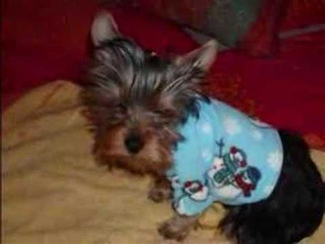 liver shunt in yorkies yorkie liver shunt behavior funnydog tv