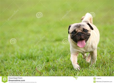running pug pug running royalty free stock images image 7726679