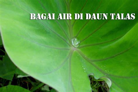 bagai air di daun talas kenapa air tidak bisa membasahi daun talas sigufi